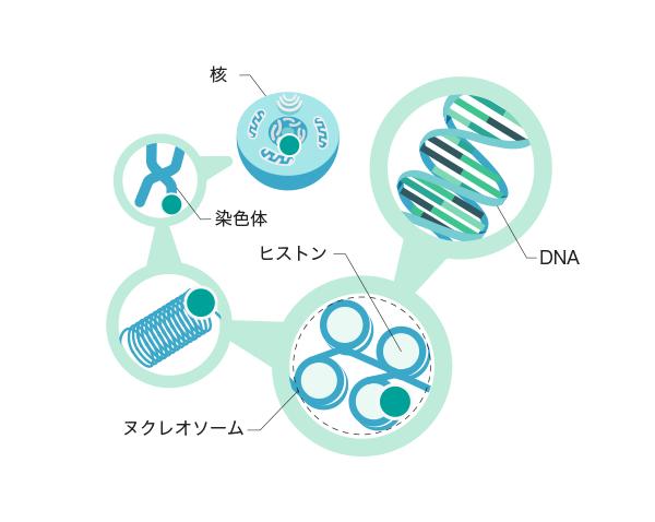 細胞のイラストの画像