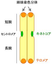 261 chromosome